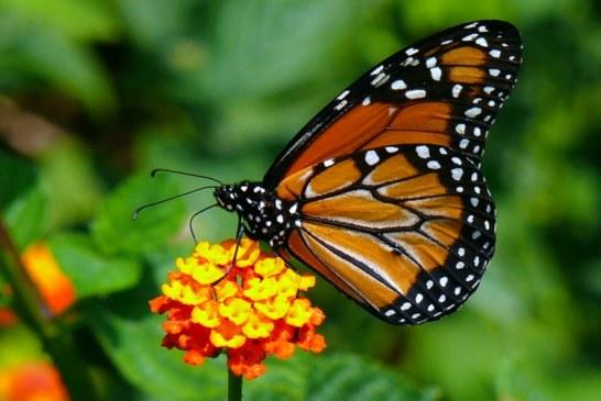 Por que OYÁ se transforma em borboleta e está associada a ela