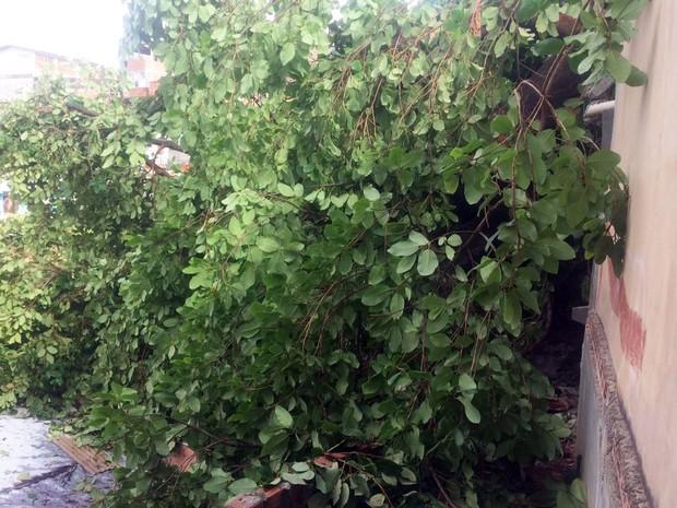 Não há informações confirmadas sobre o que pode ter provocado a queda da árvore (Foto: Juliana Almirante/Site)